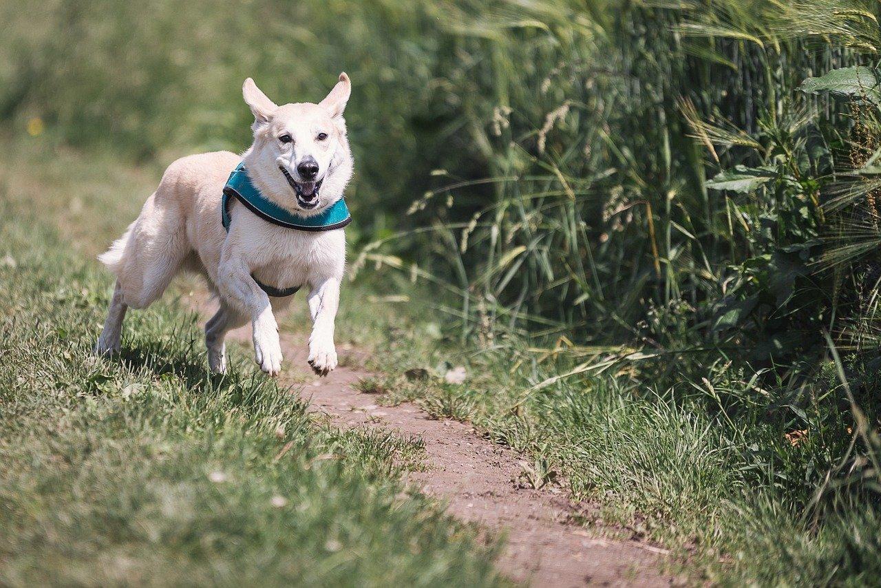 Pourquoi mon chien fugue-t-il et comment y remédier